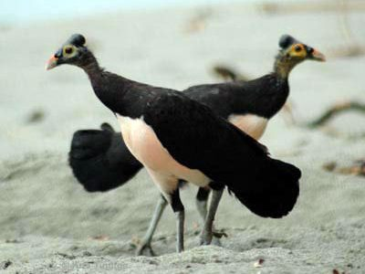 Burung Maleo.