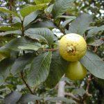 Antam Kembangkan Sentra Buah-buahan di Kabupaten Bogor