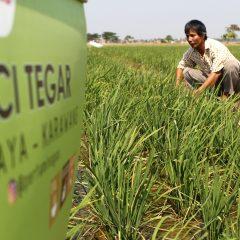 Leci Tegar, Transformasi Tanam Padi Organik Petani Desa Cilamaya