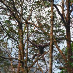 Ikhtiar Kembalikan Owa Jawa di Tanah Kelahirannya